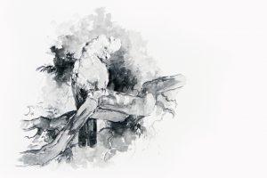 Galah drawings